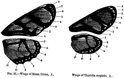 FIG. 25.—Wings of Ituna Ilione, female. Wings of Thyridia megisto, female.