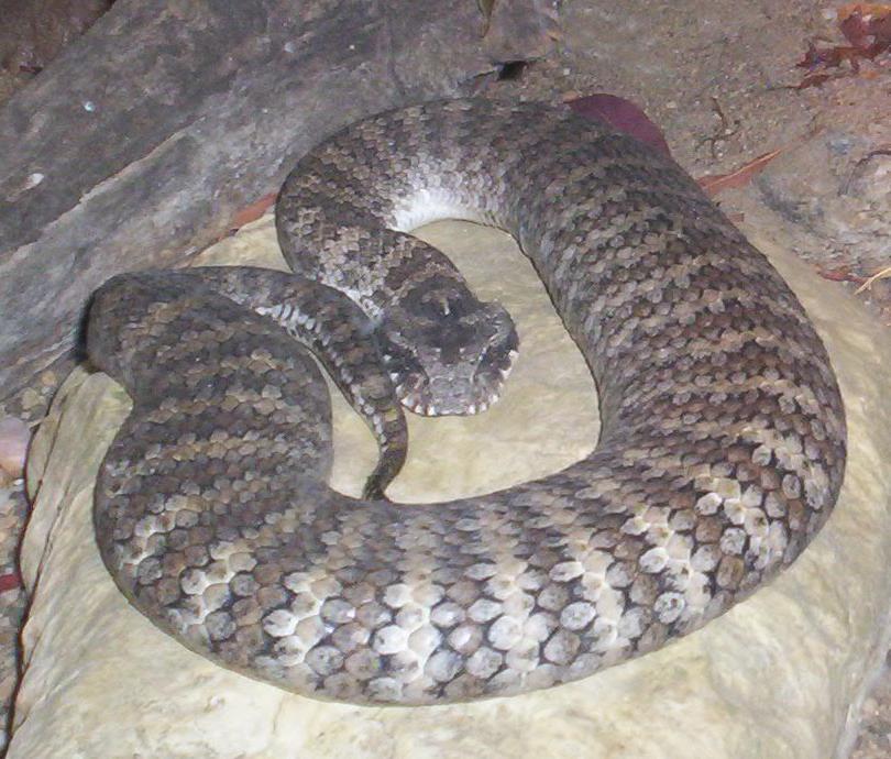 Death adder (snake)