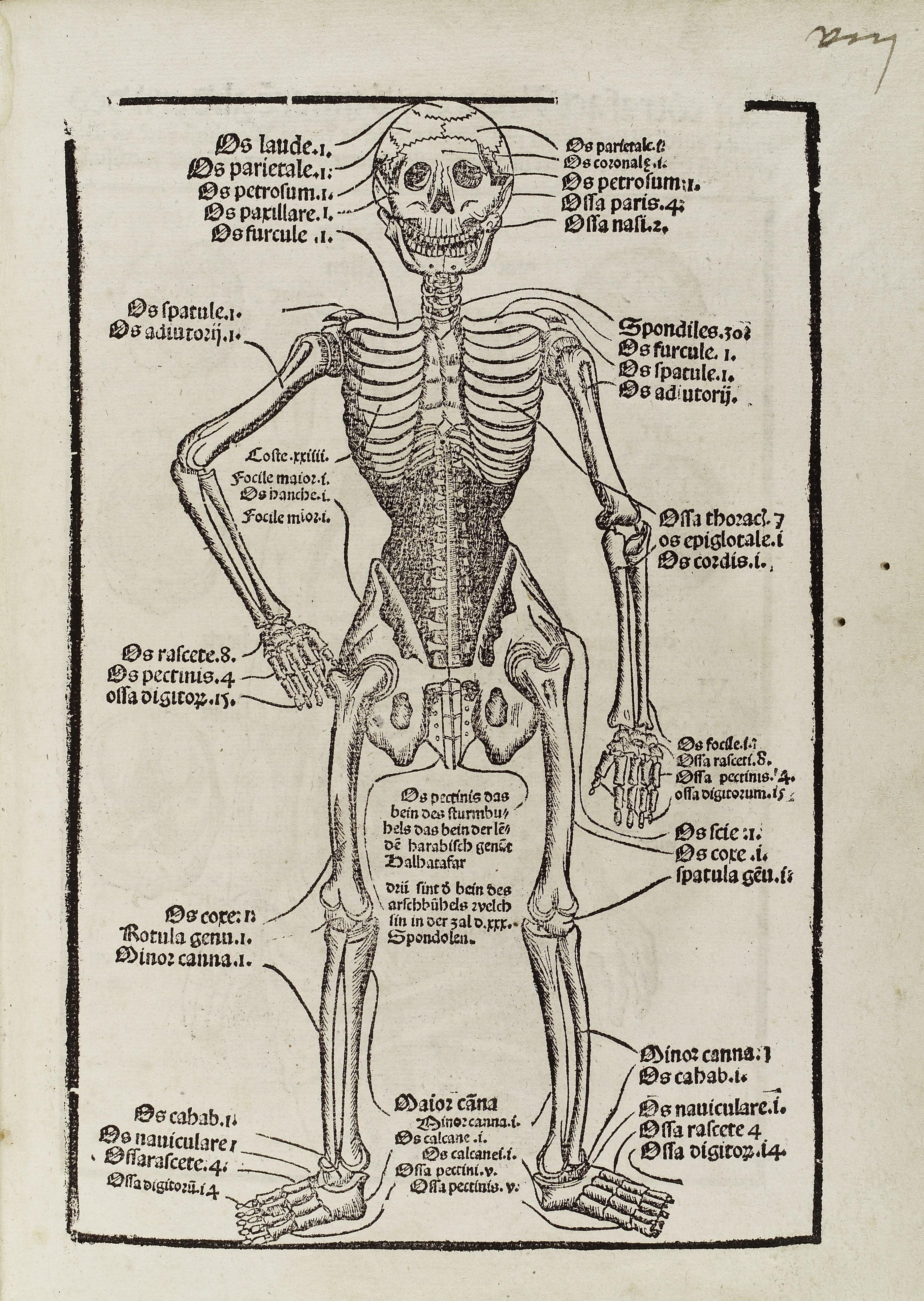 Filediagram Of A Skeleton Describing The Major Bones Wellcome
