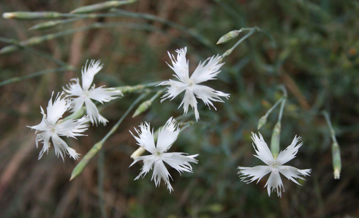 File:Dianthus plumarius regis-stephani 2.jpg - Wikimedia ...
