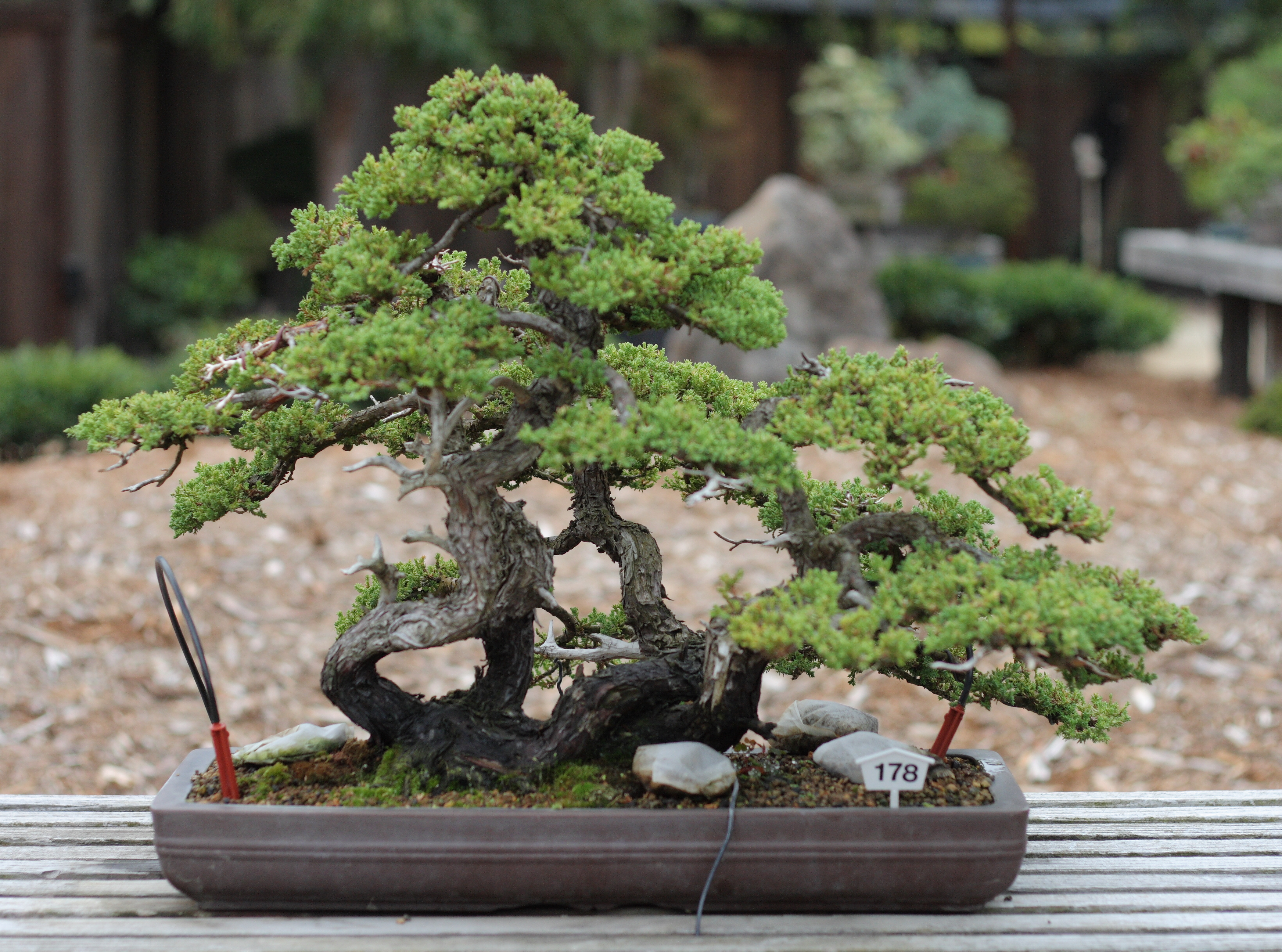file dwarf japanese garden juniper gsbf cn 178 september 12 wikimedia commons. Black Bedroom Furniture Sets. Home Design Ideas