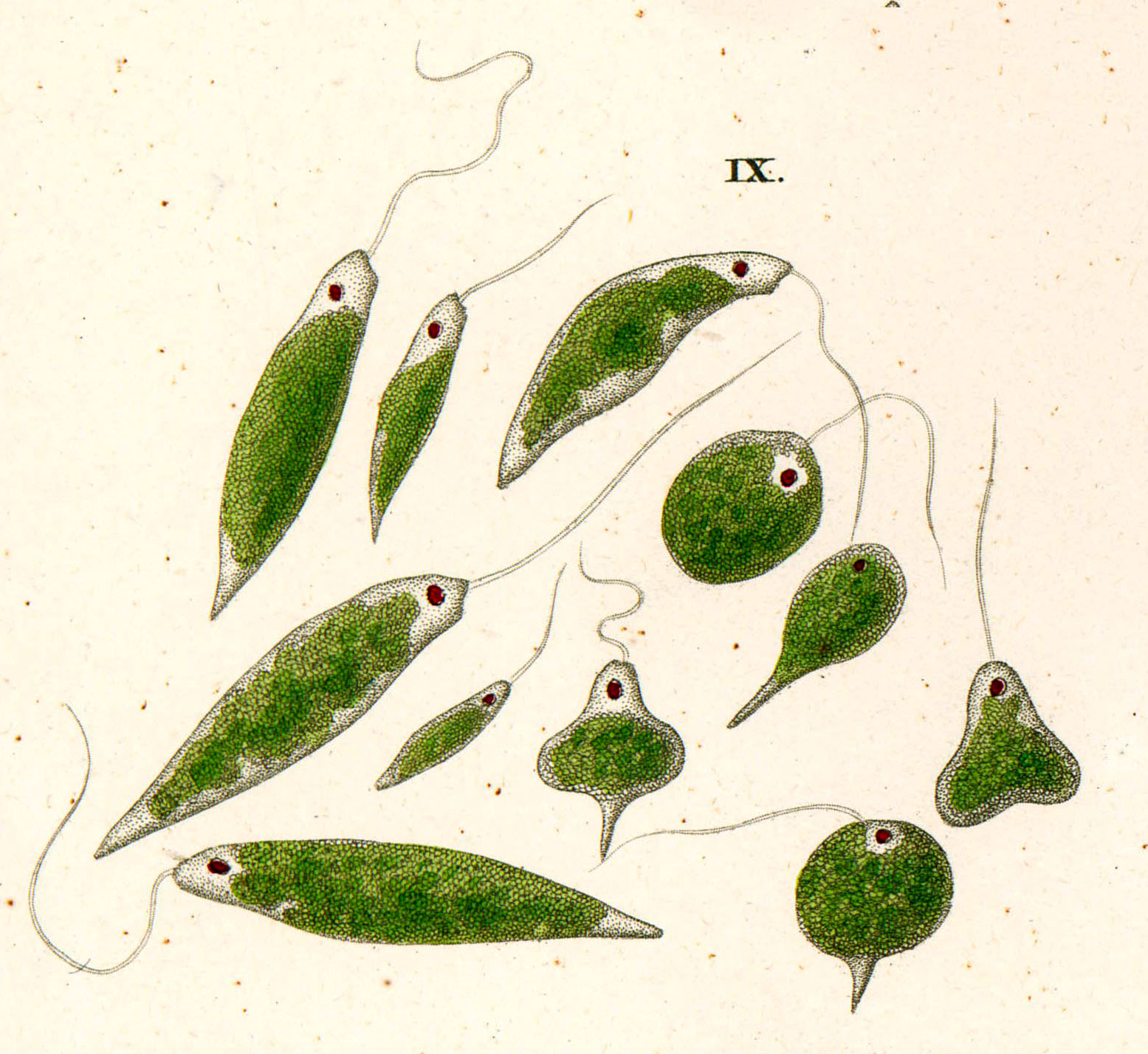 euglena paraziták