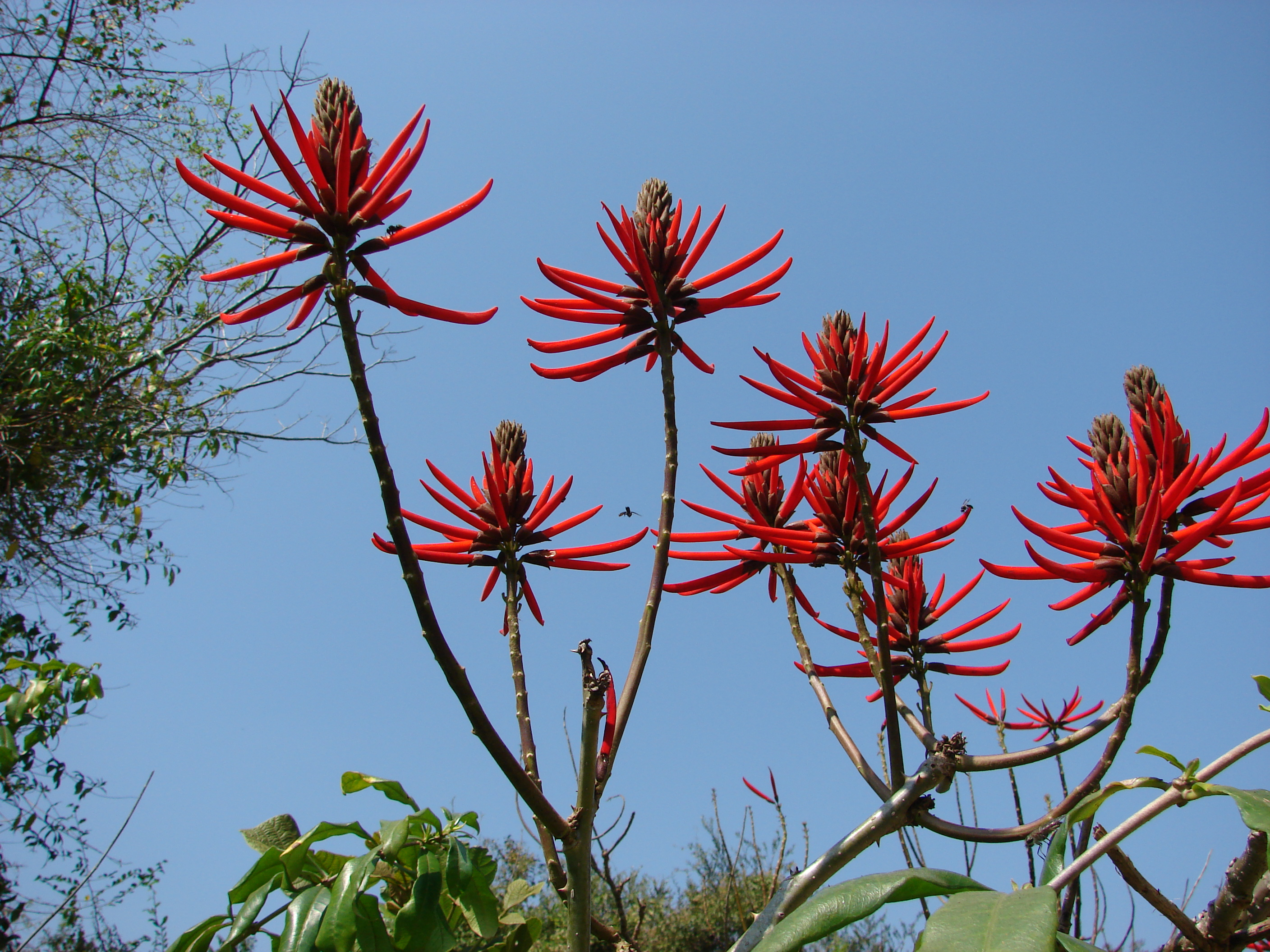 http://upload.wikimedia.org/wikipedia/commons/e/e8/Erythrina_speciosa_flower.JPG