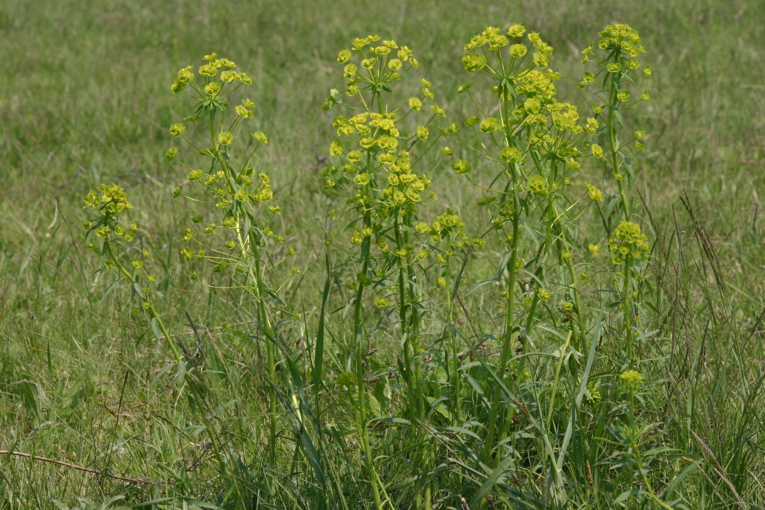 Euphorbia  wolfsmelk soorten  fotos info