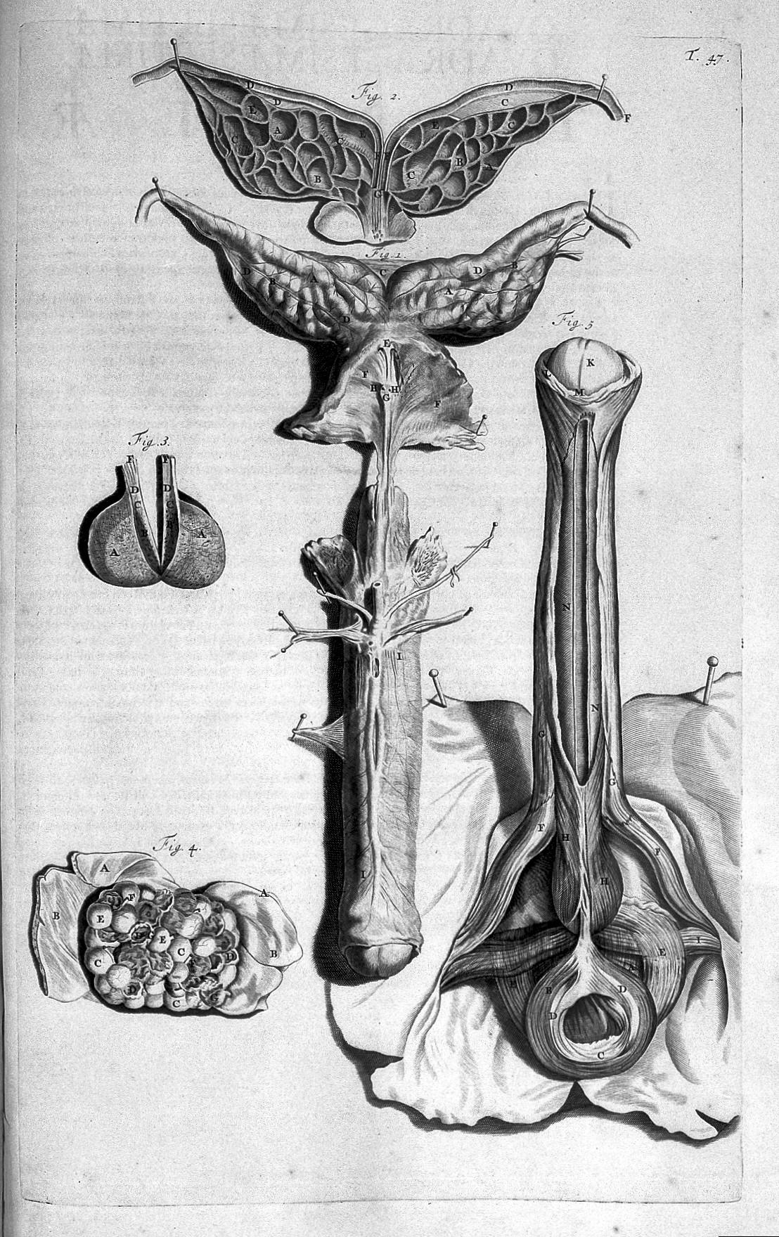 File:G. Bidloo, Anatomia humani corporis... Wellcome L0022341.jpg ...