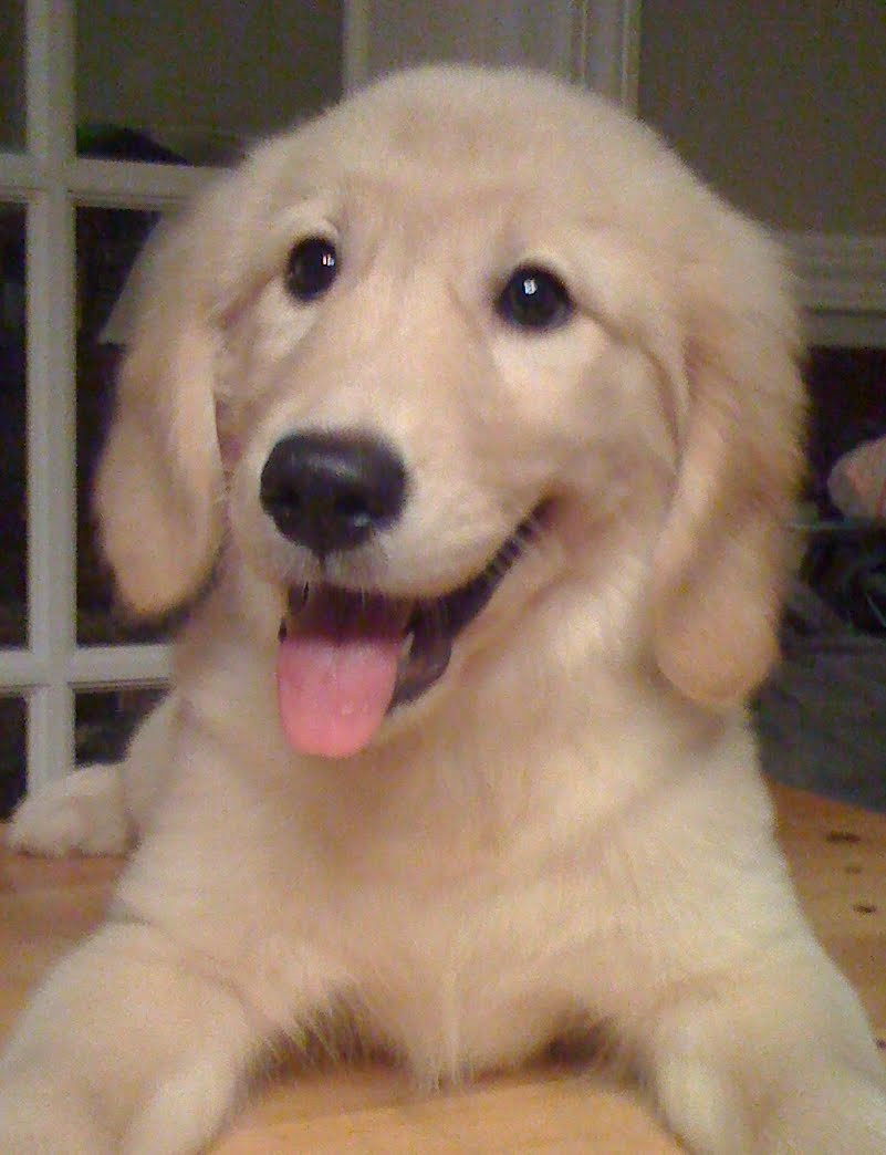 File:GoldenRetrieverPuppyDaisyParker.JPG - Wikimedia Commons