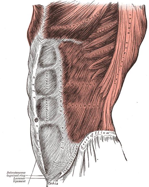 Músculo oblicuo externo del abdomen - Wikipedia, la enciclopedia libre