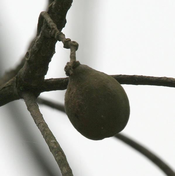 File:Harra (Terminalia chebula) hanging fruit at 23 Mile