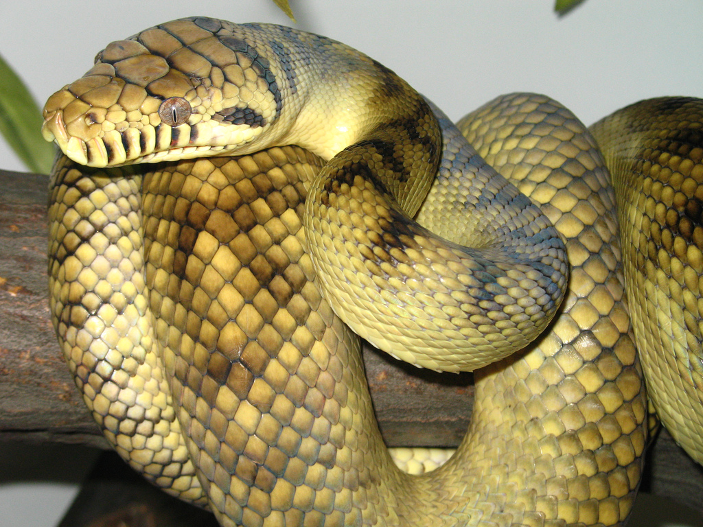 High-Yellow Sorong Amethystine Scrub Python.jpg
