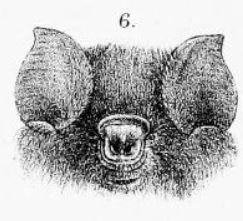 Sooty roundleaf bat species of mammal