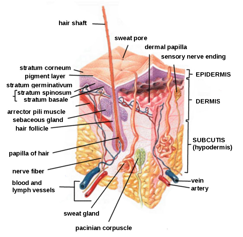 Diagram for Integumentary System http://commons.wikimedia.org/wiki/File:HumanSkinDiagram.jpg