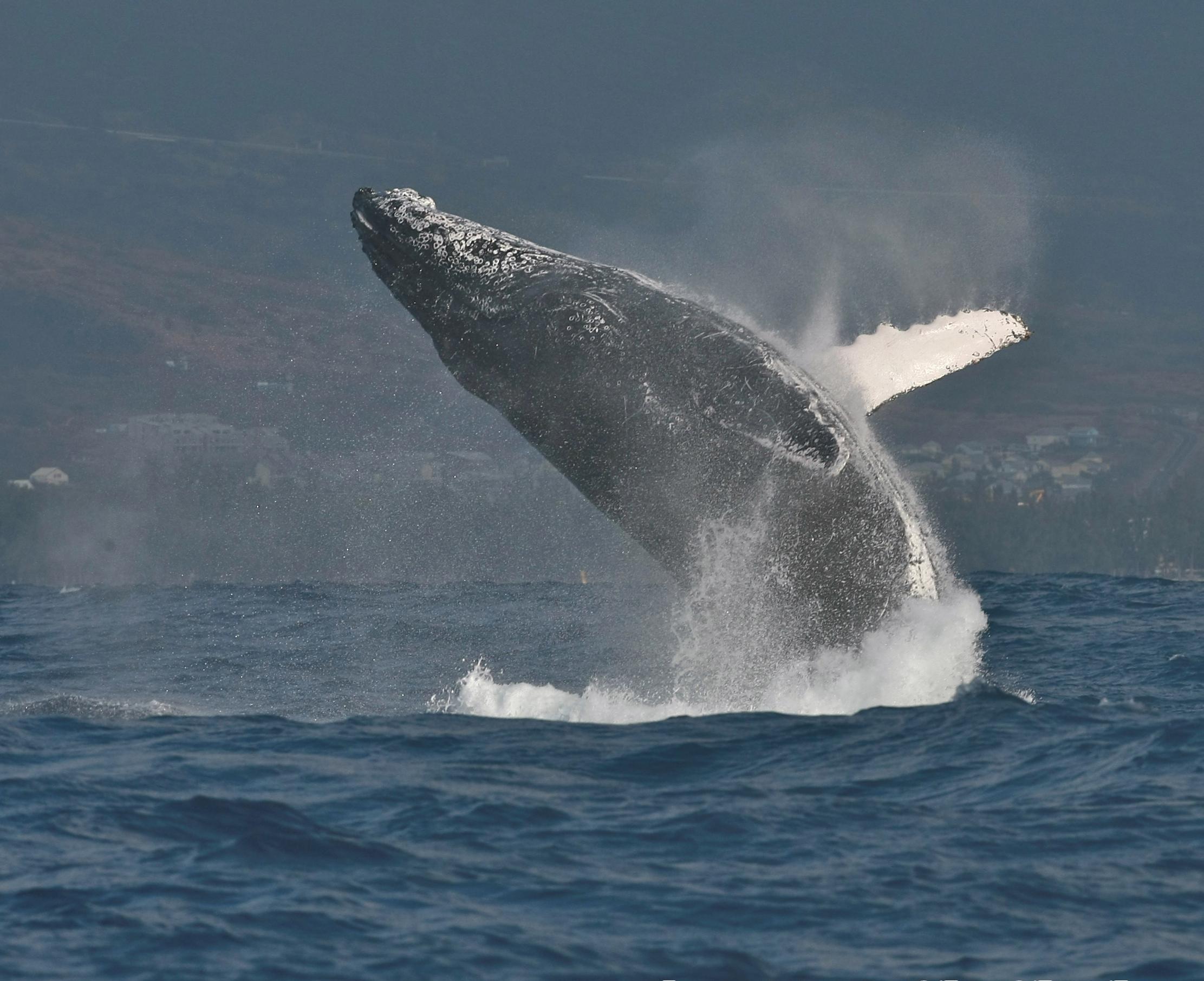 file humpback whale bis jpeg wikimedia commons