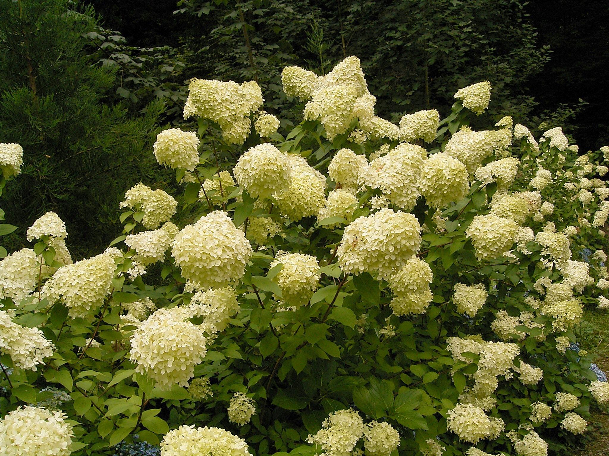 File:Hydrangea paniculata 03 ies.jpg - Wikimedia Commons