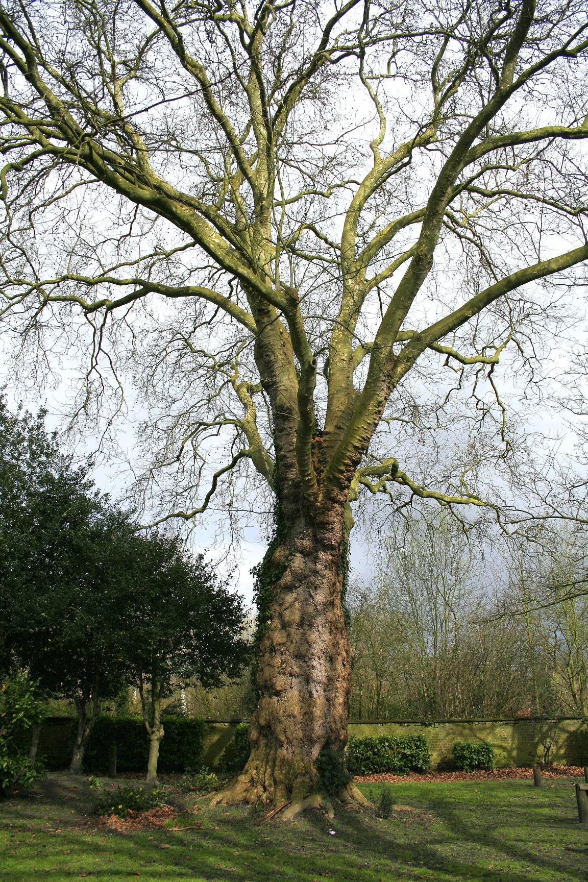 Ahornblättrige Platane (Platanus × acerifolia)