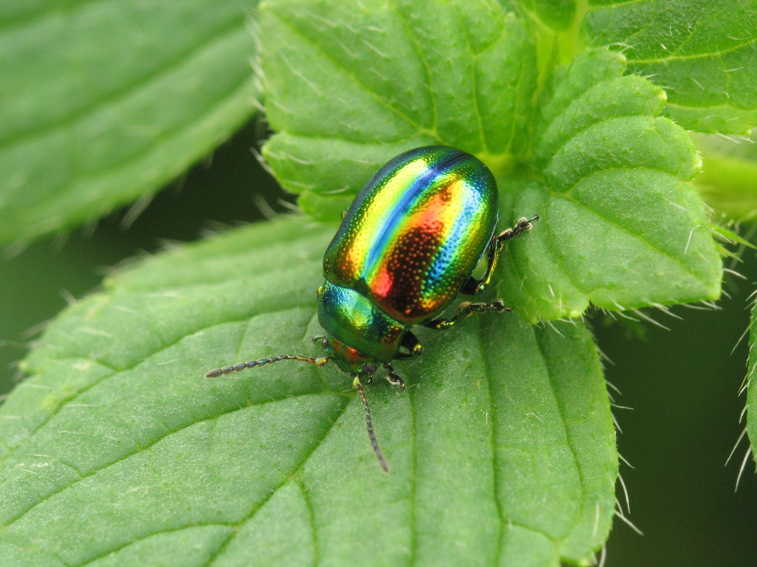 File Img 0487 Coleoptera Jpg Wikimedia Commons