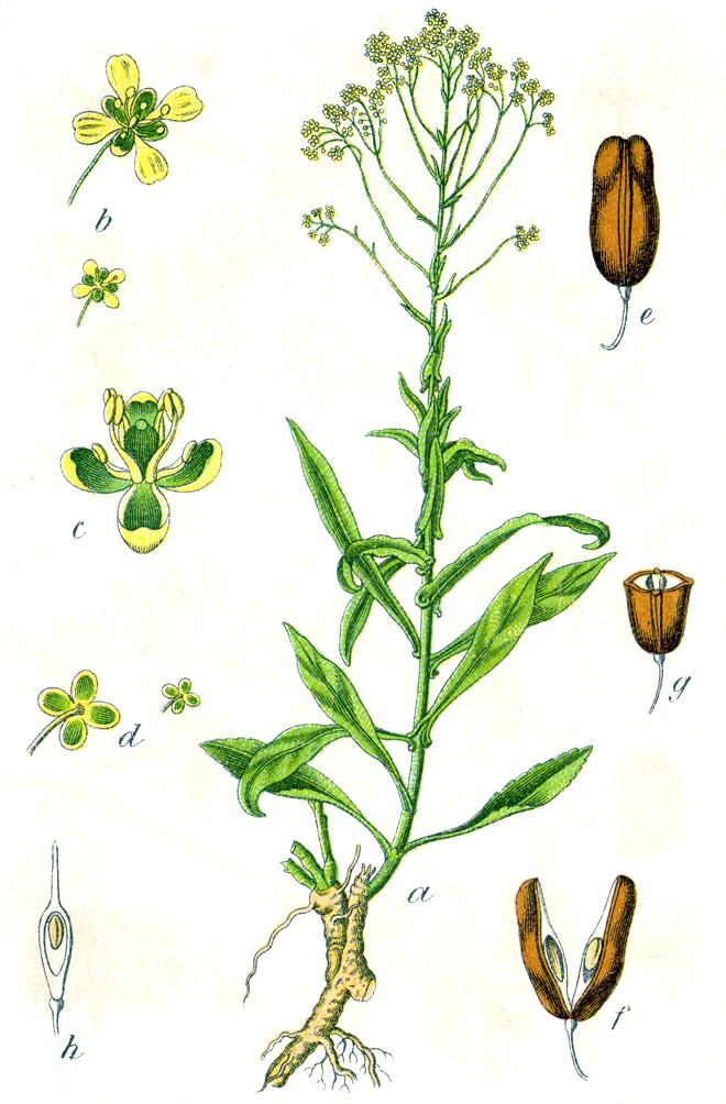 Morsinko-kasvi