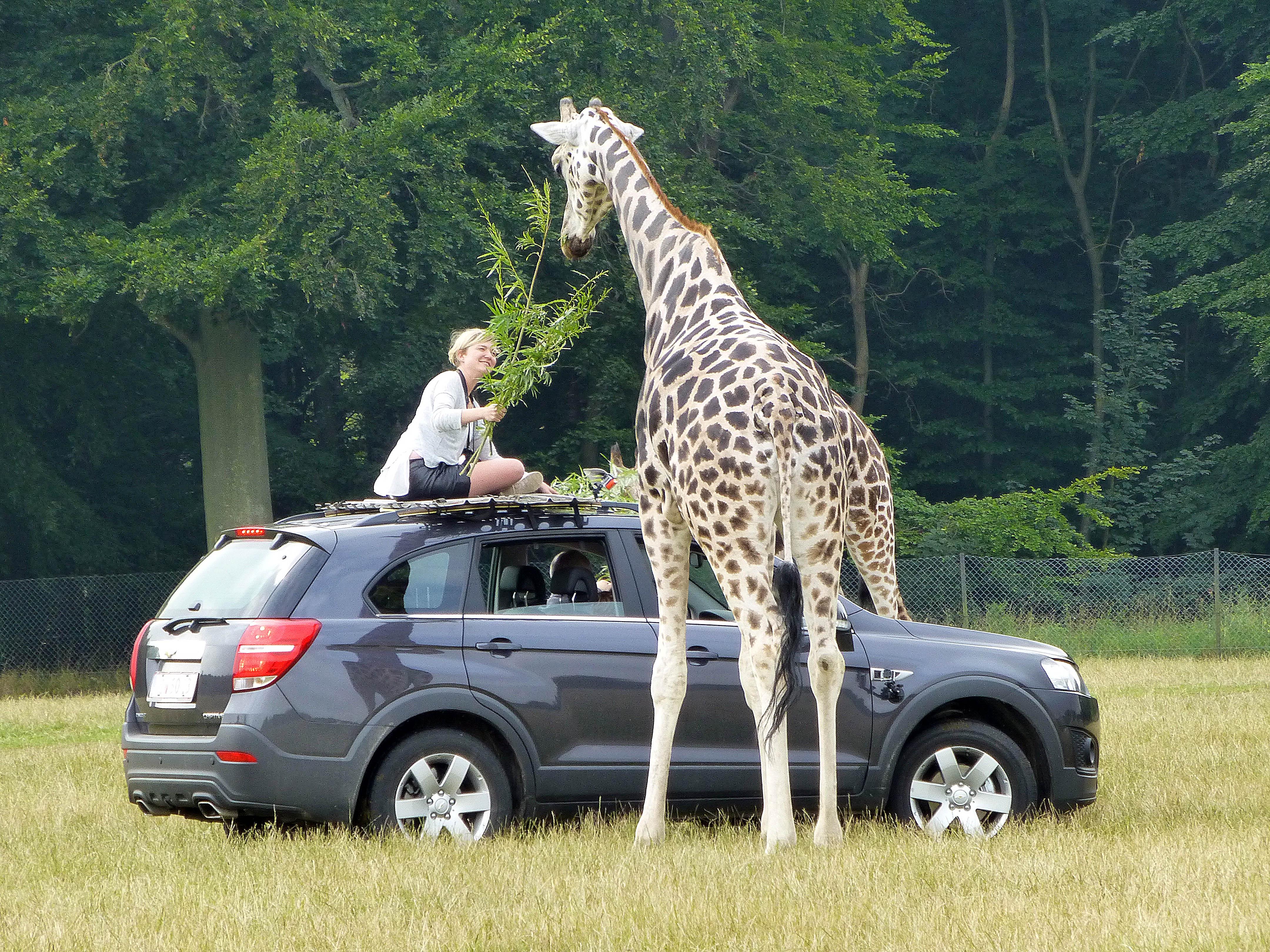 safari, giraffe