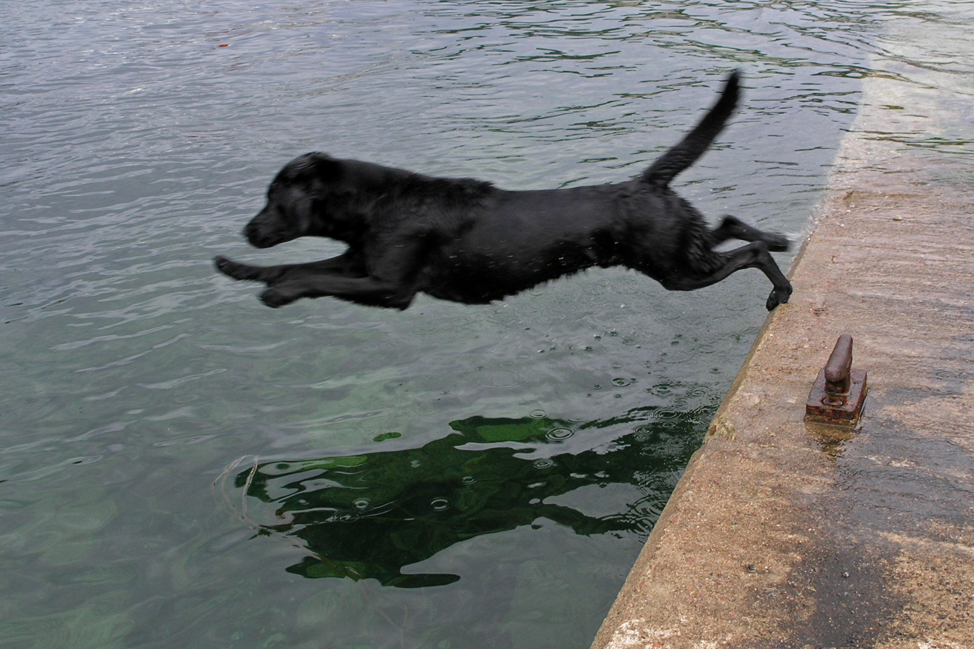 zwarte labrador retriever