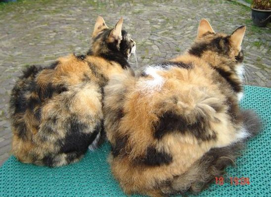 Gatos LaPerm