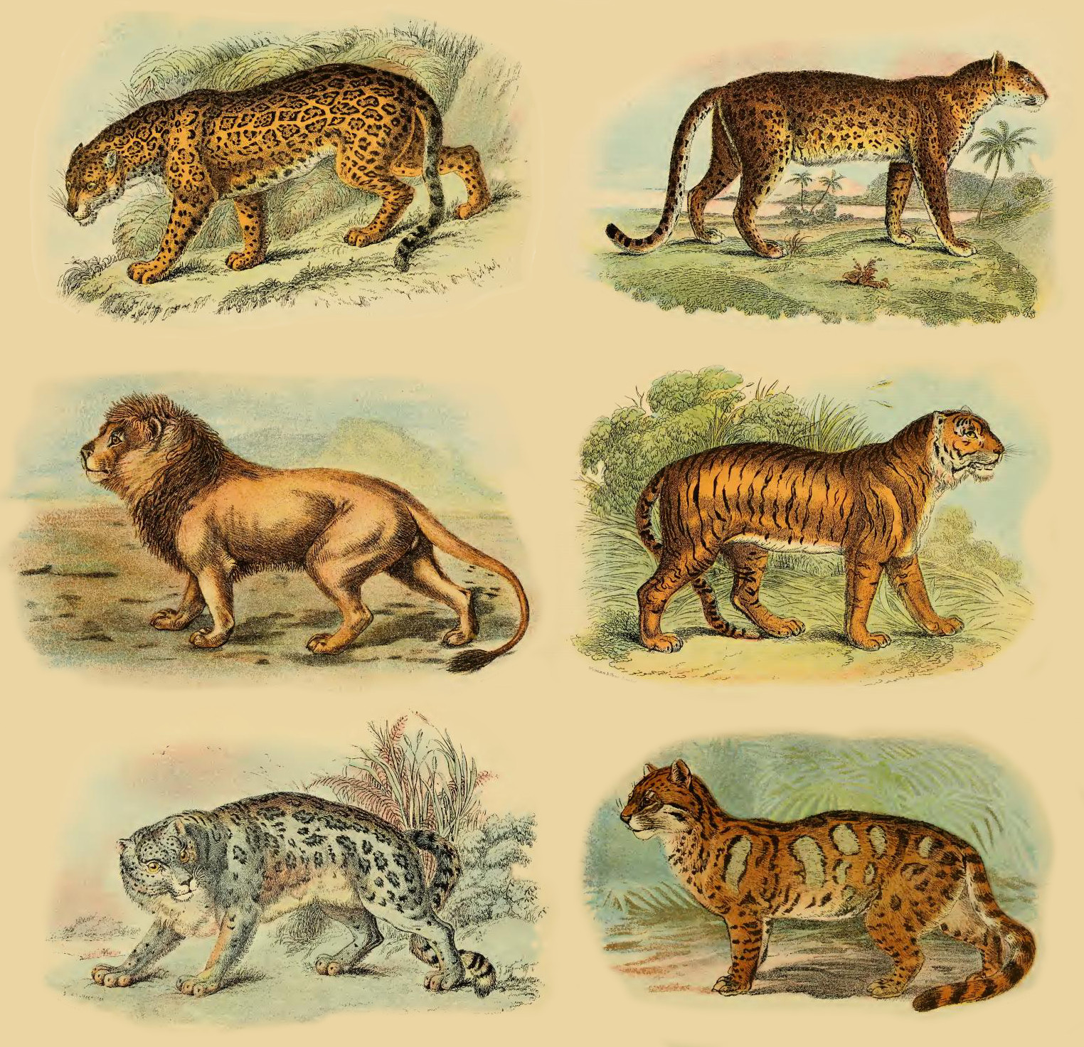 https://upload.wikimedia.org/wikipedia/commons/e/e8/Lydekker_-_Pantherinae_collage.jpg