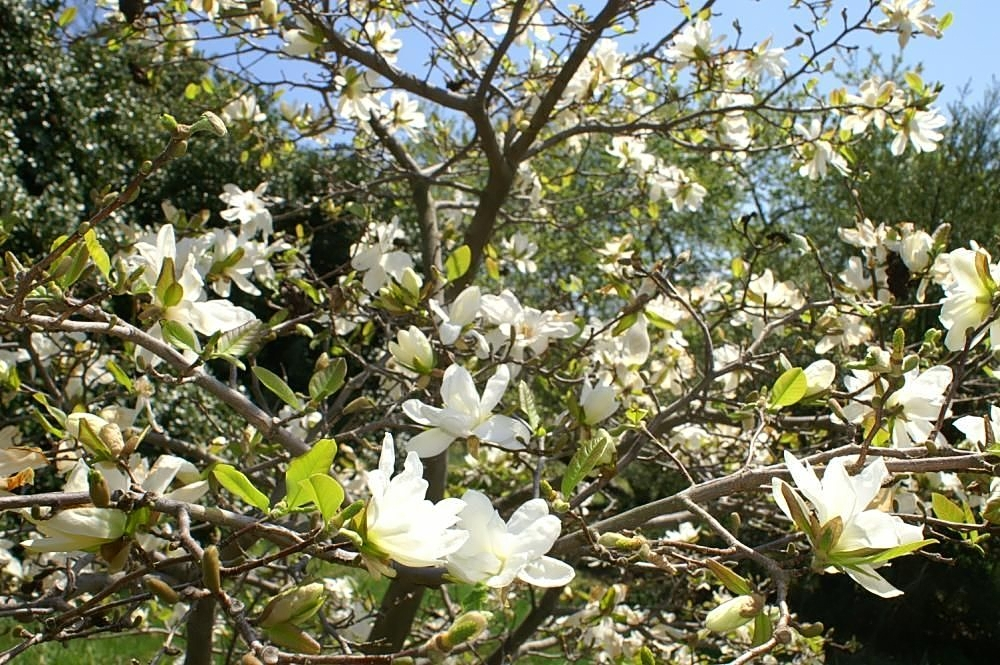 File Magnolia X Loebneri Spring Snow 2zz Jpg Wikimedia Commons