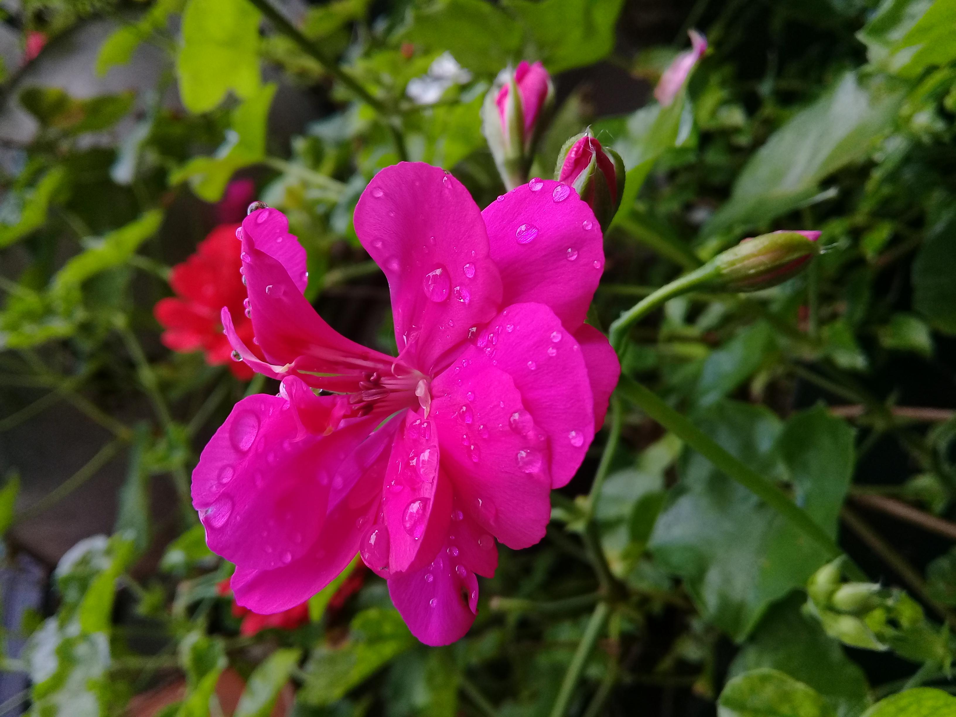 File:Mini frangipani.jpg