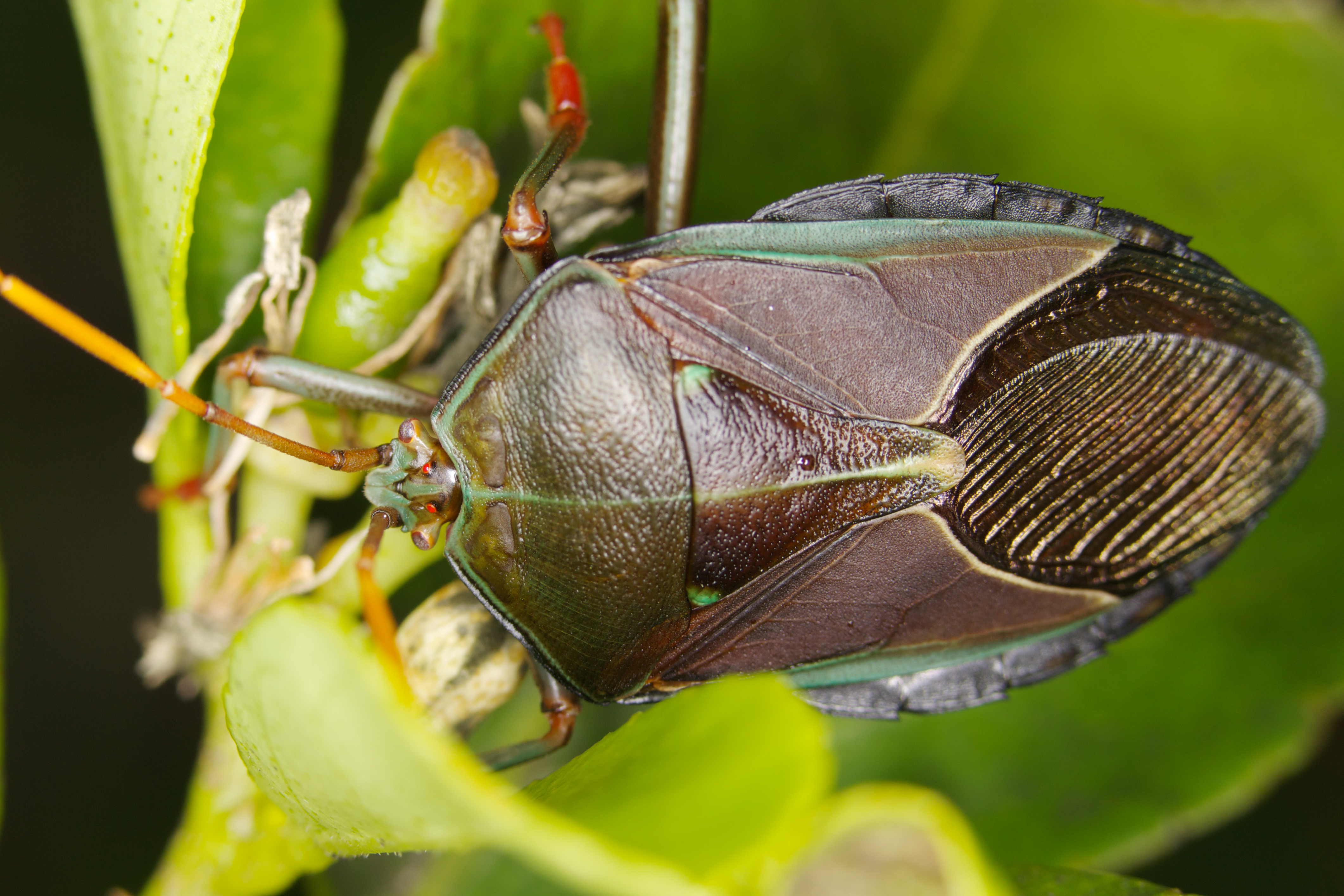 Musgraveia sulciventris - Wikipedia