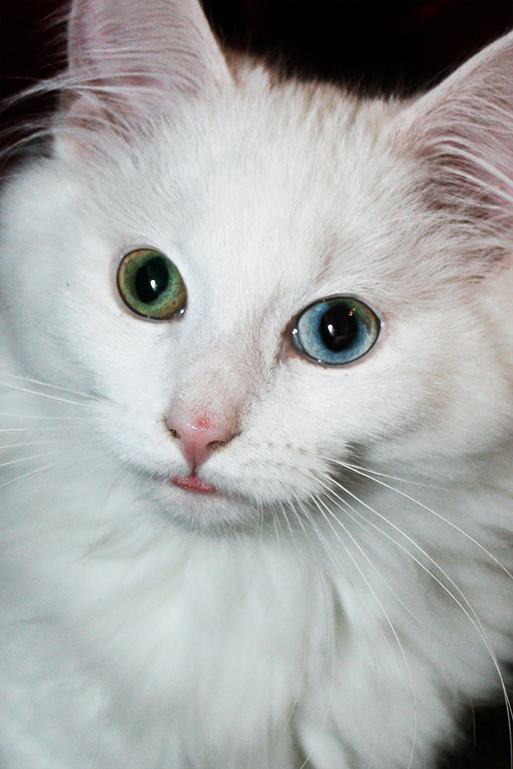 Heterochromatic Eyes Cat