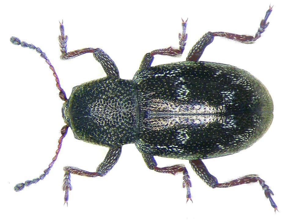 File pachnephorus villosus duftschmid 1825 jpg for 1825 2