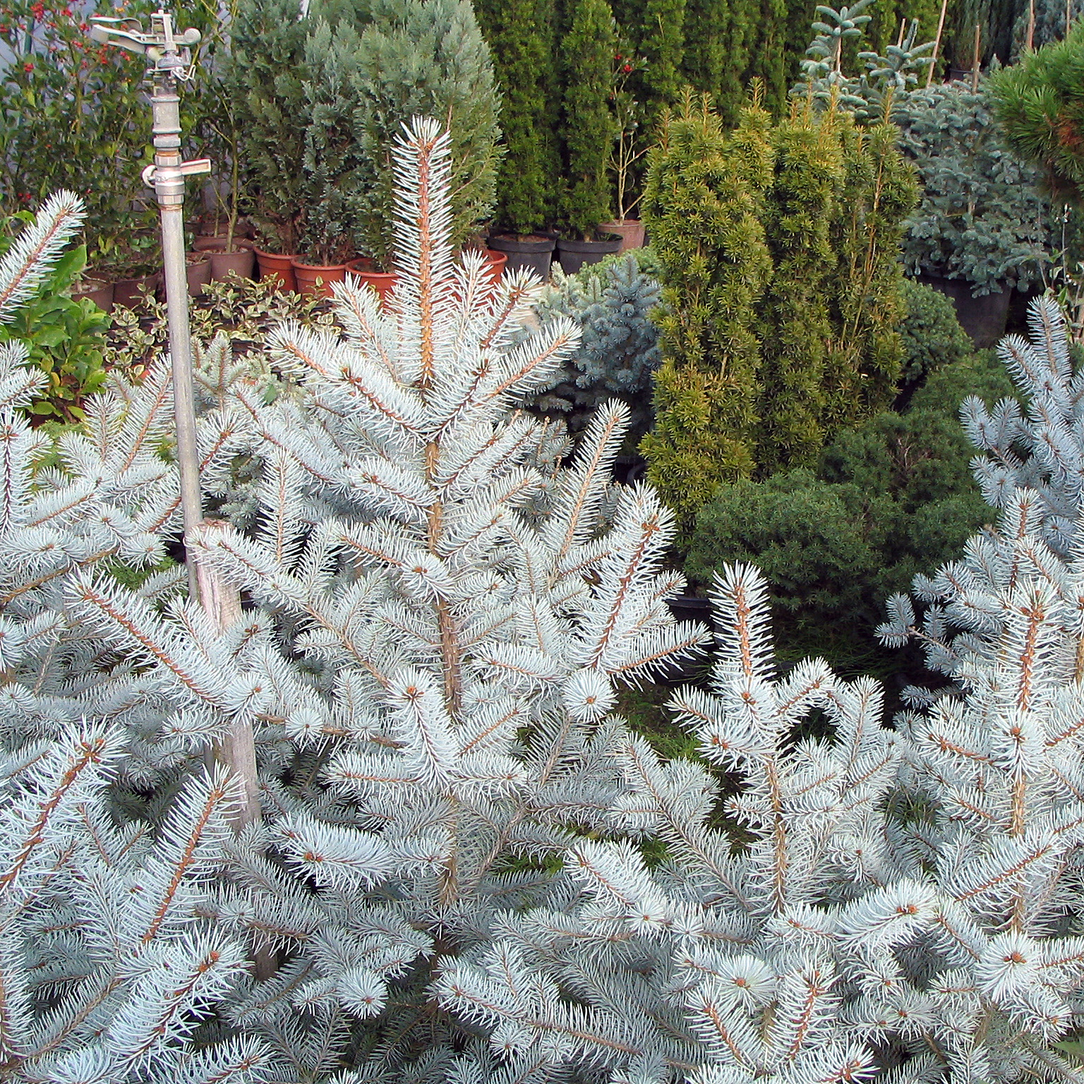 File Picea Pungens Edith