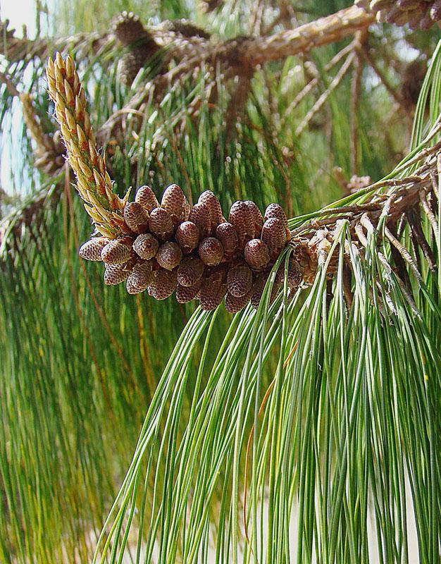 File:Pinus patula, UC Berkeley Botanical Gardens 2.jpg - Wikimedia ...