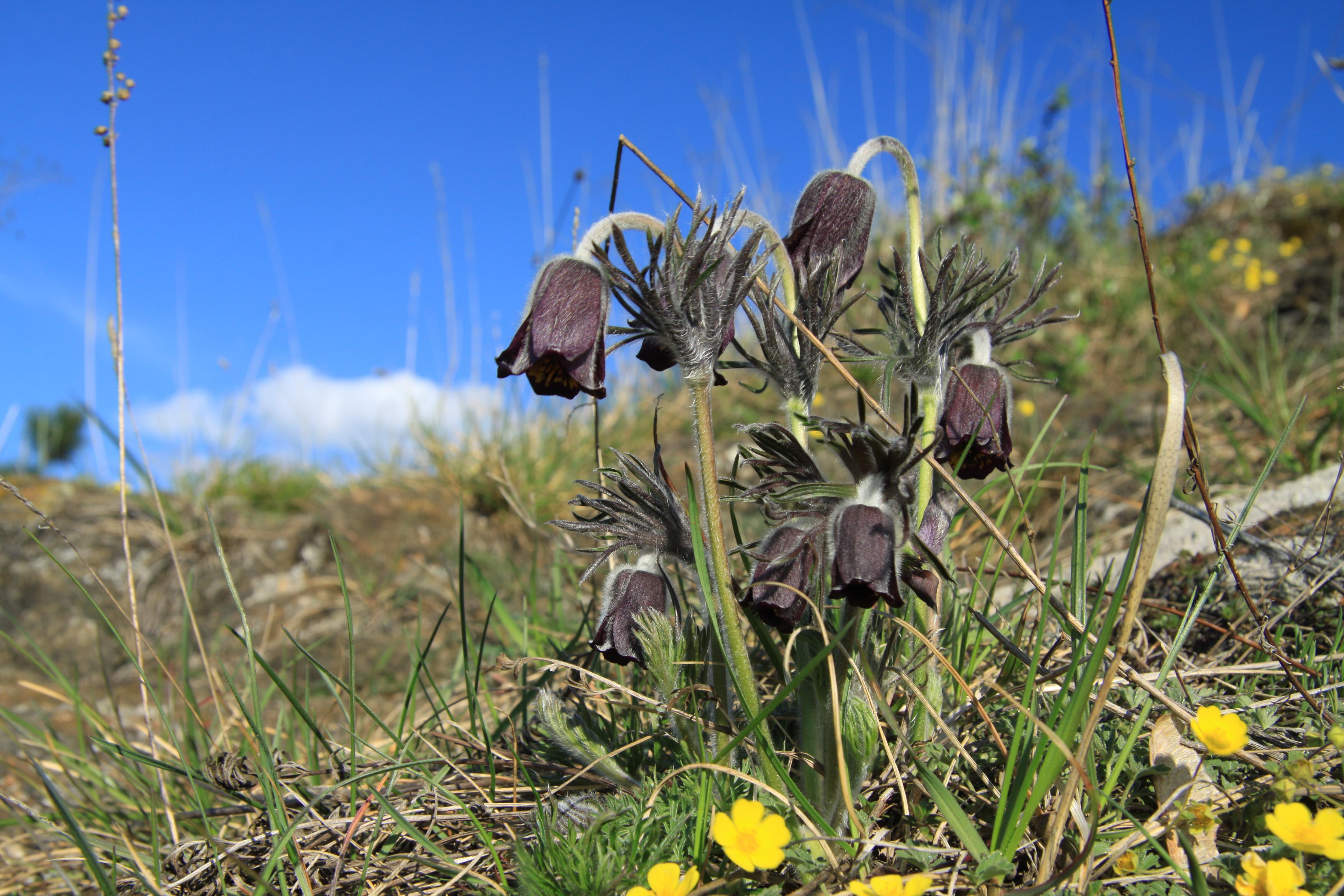 Pulsatilla pratensis in natural monument Kalvarie v Motole in spring 2012 (5).JPG