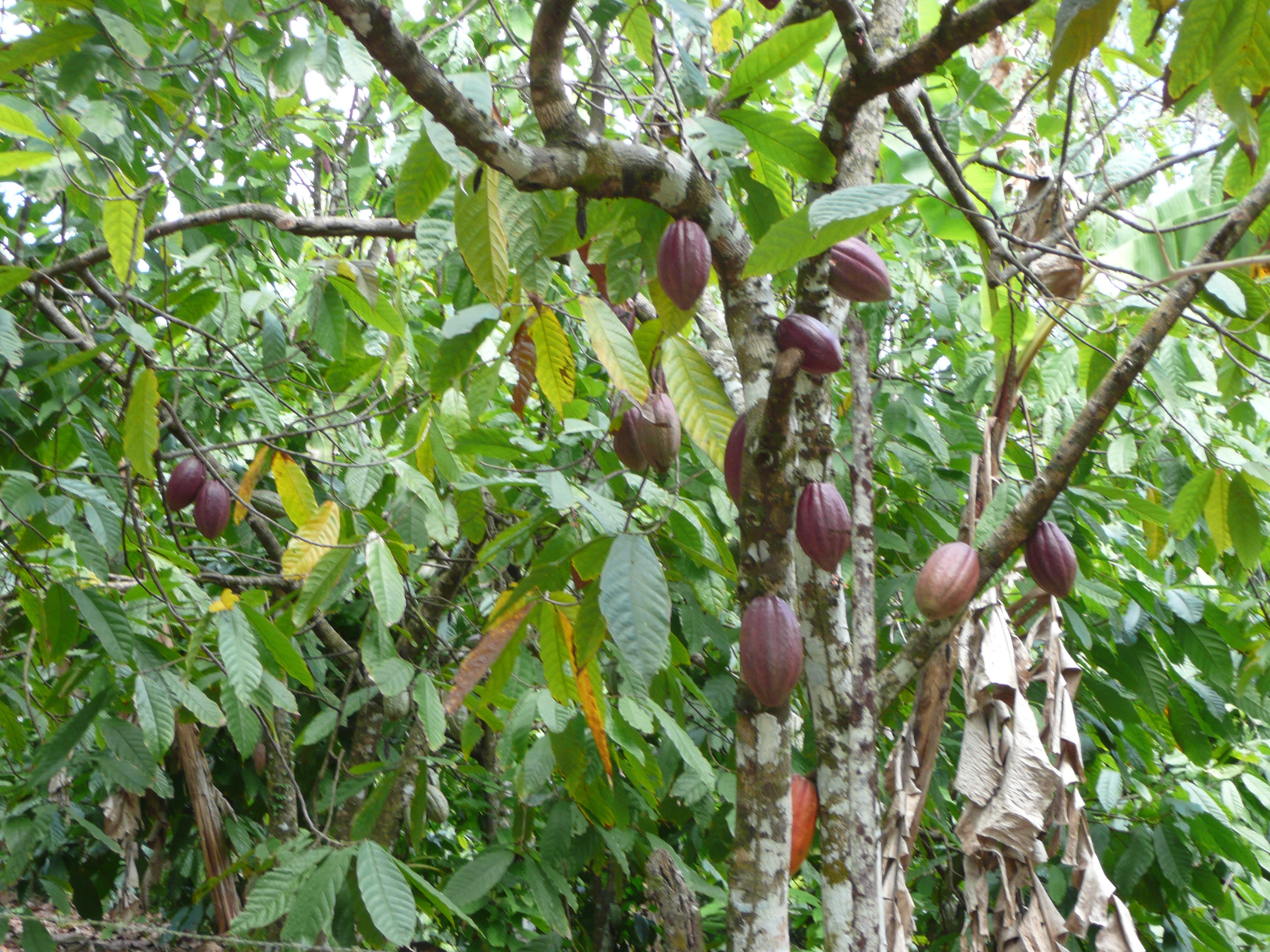 Dreaming of Walking, Plucking Cacao Fruit and a High Fence