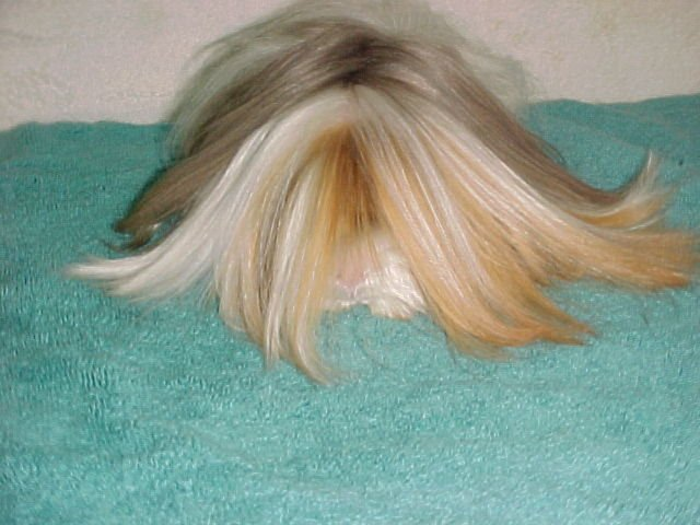 Description Rene the long-haired Satin Peruvian Guinea pig.jpg