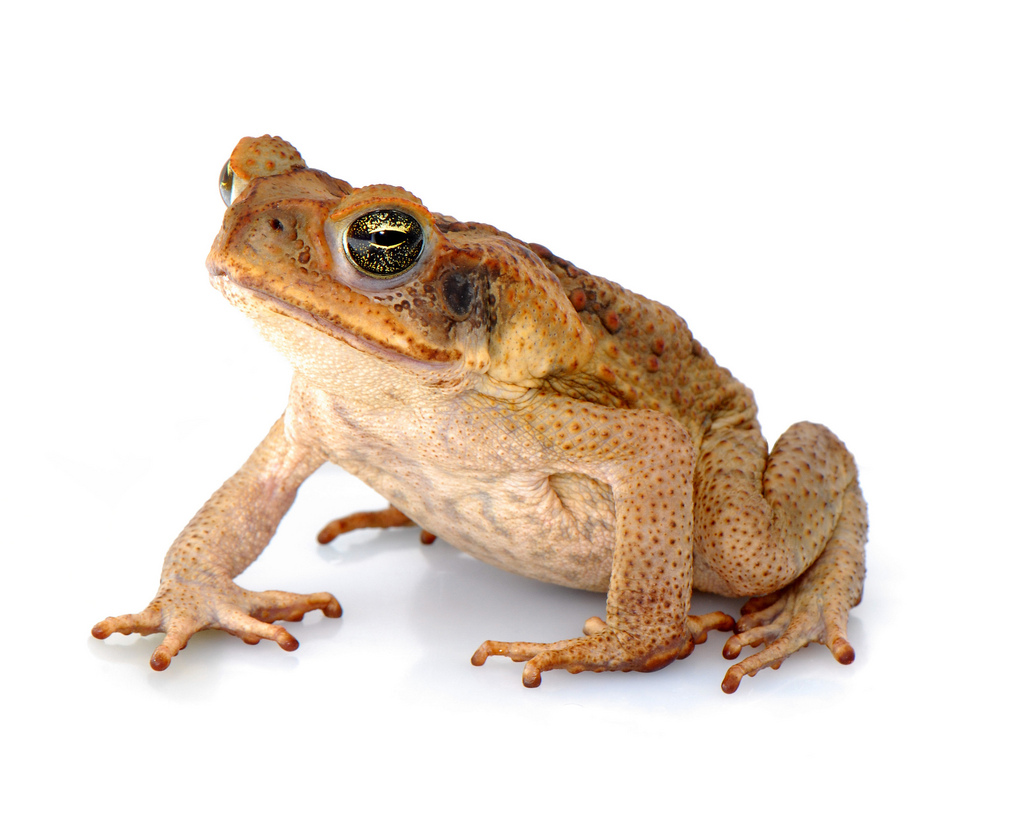File Rhinella Marina Linnaeus 1758 Cane Toad