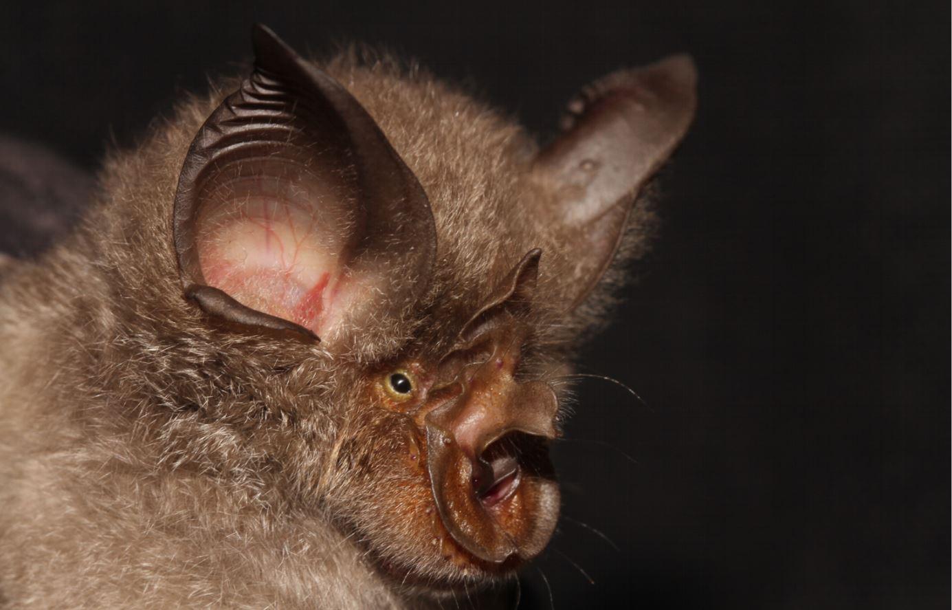 https://upload.wikimedia.org/wikipedia/commons/e/e8/Rhinolophus_smithersi.jpg