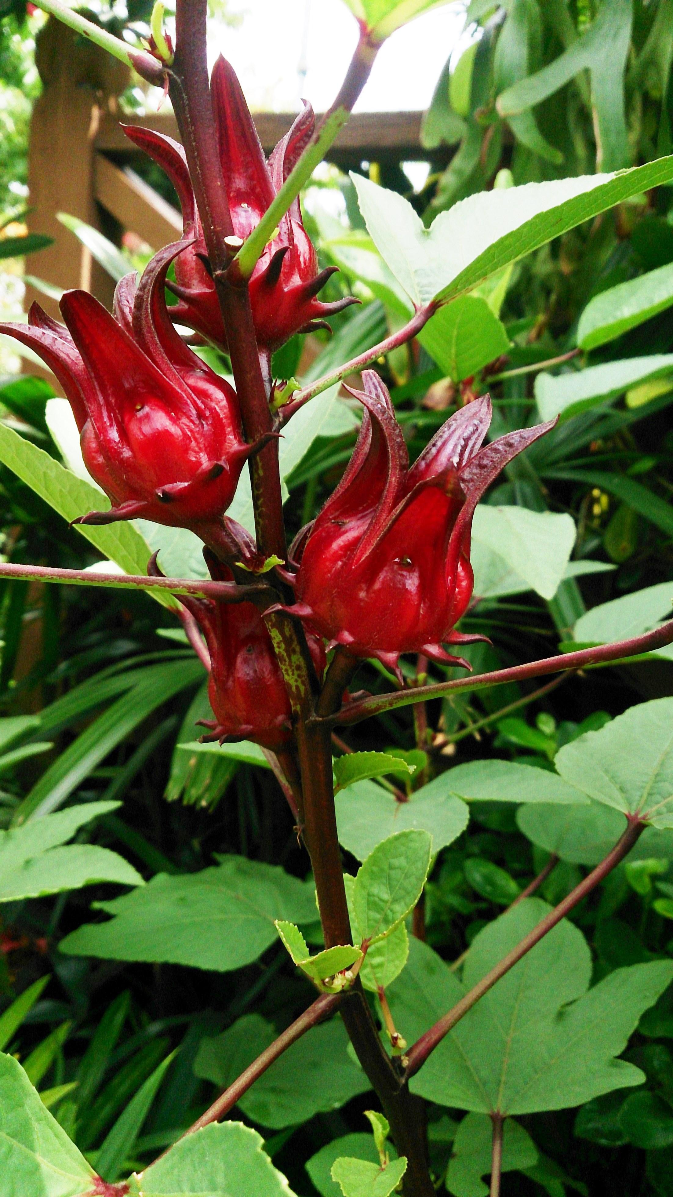 Rosella Seeds Australian Grown