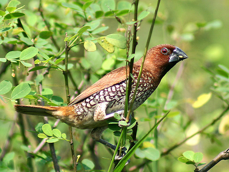 പ്രമാണം:Scaly breasted Munia I IMG 4769.jpg