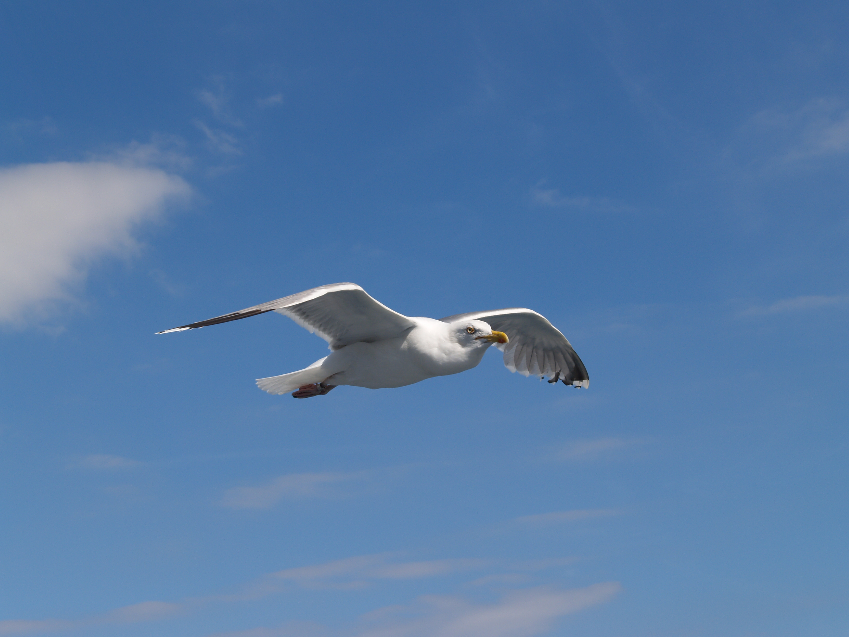 File:Seagull flying (2...