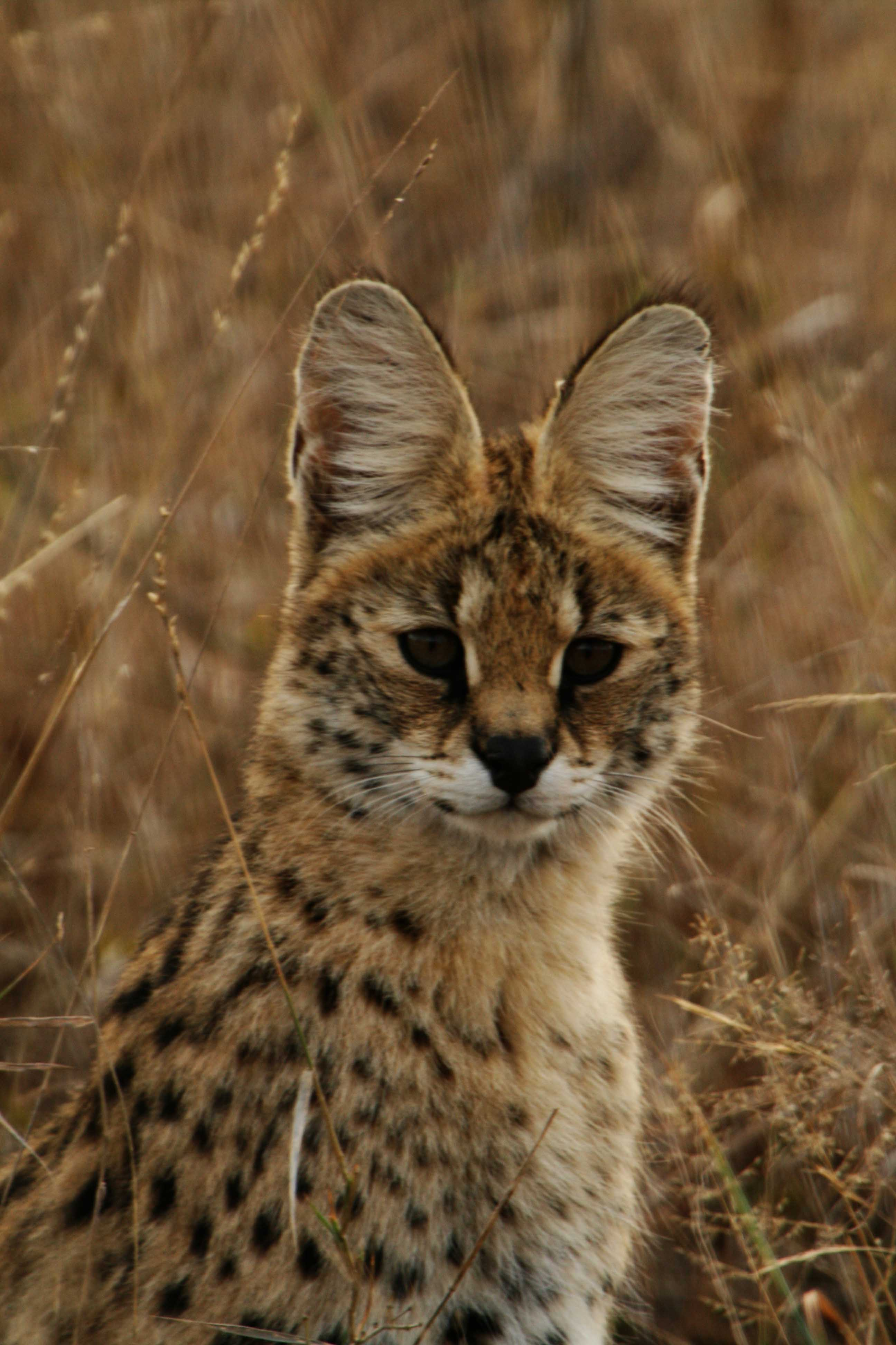 http://upload.wikimedia.org/wikipedia/commons/e/e8/Serval_portrait.jpg