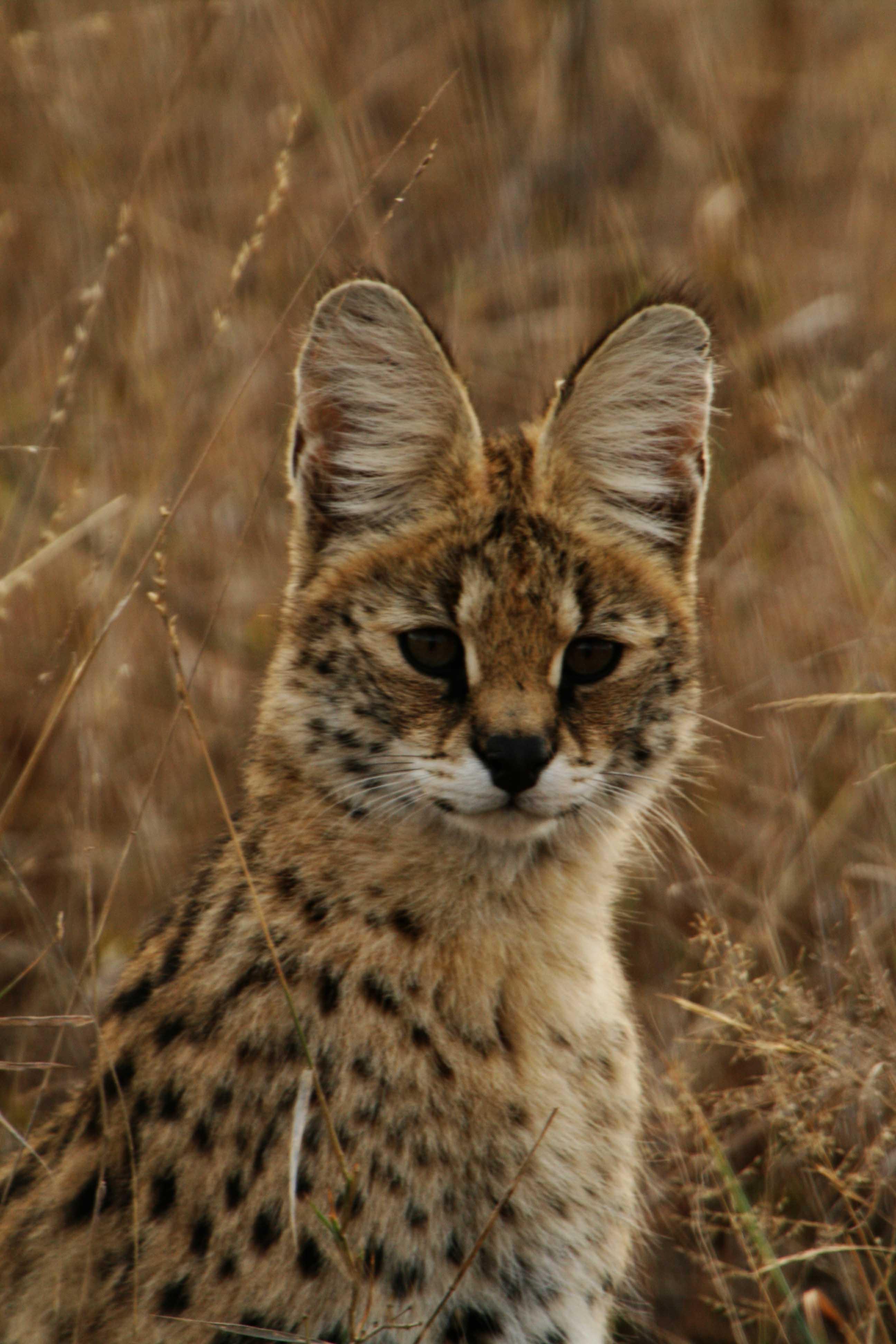 Serval portrait.jpg