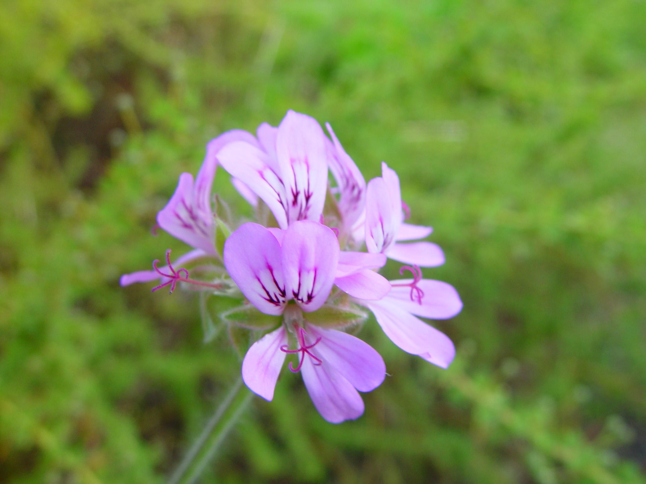 filesmall purple flower  wikimedia commons, Beautiful flower