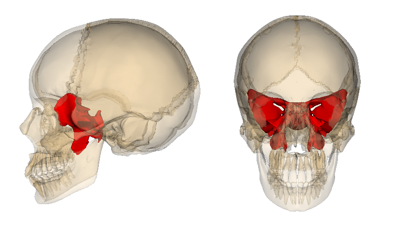 file:sphenoid bone - wikimedia commons, Human Body