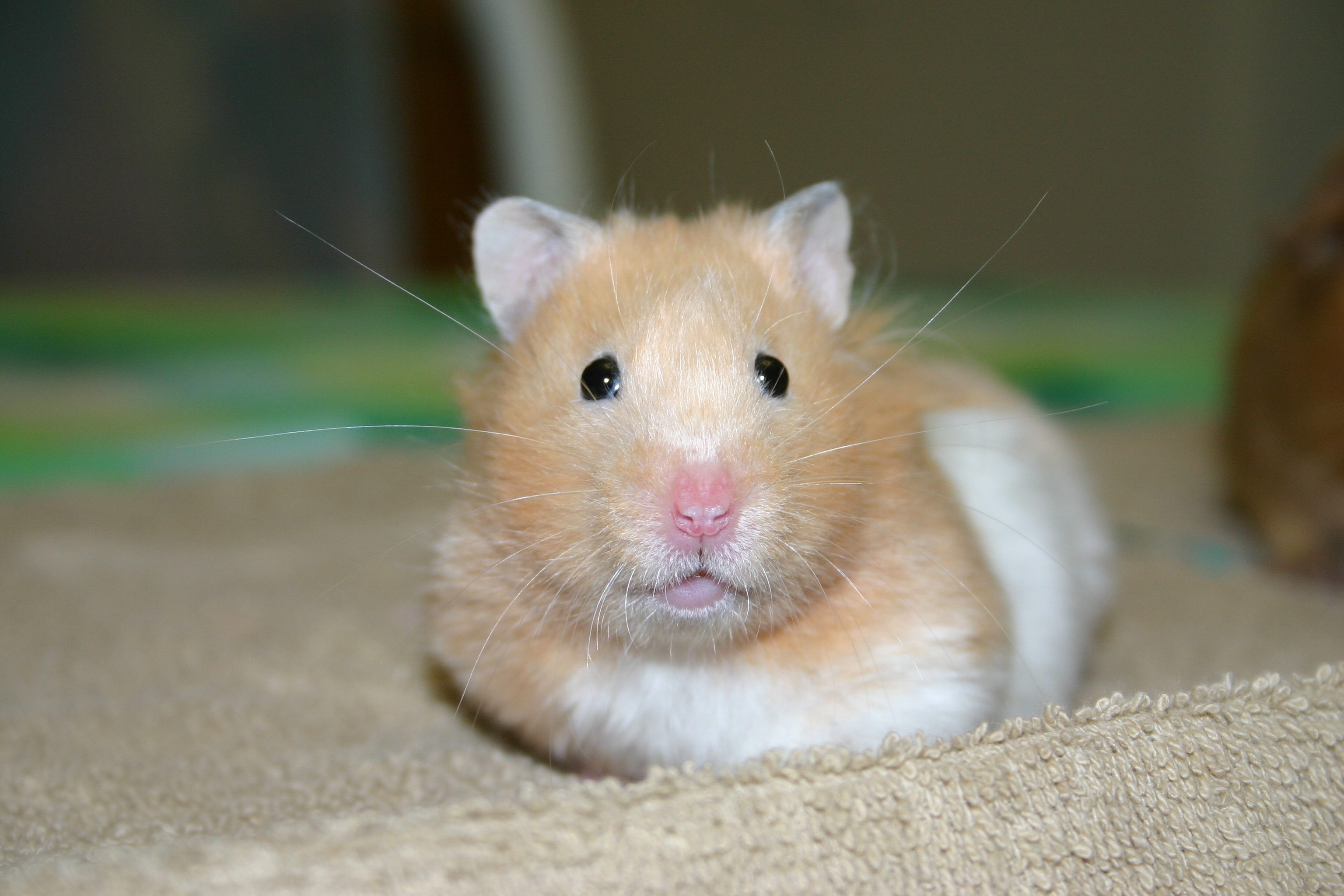 Pet Hamsters For Sale At Pets At Home
