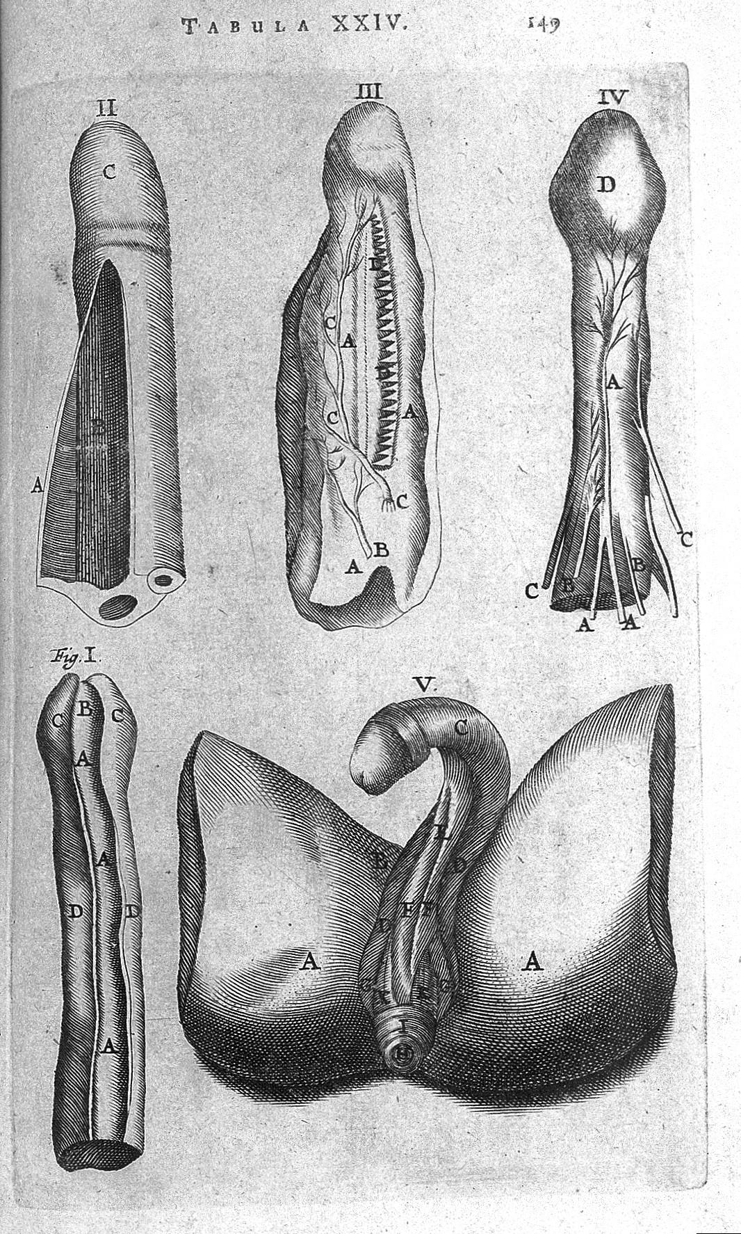 Excelente Anatomía De Un Penius Bandera - Anatomía de Las ...