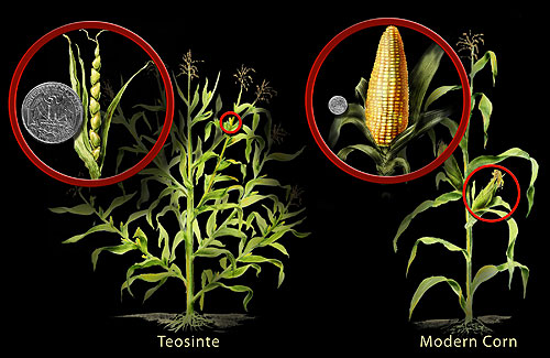 Figure 1. Comparison between Teosinte and Maize
