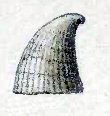 <i>Thyca astericola</i> species of mollusc