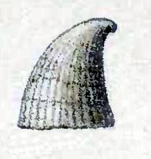 <i>Thyca astericola</i> Species of gastropod