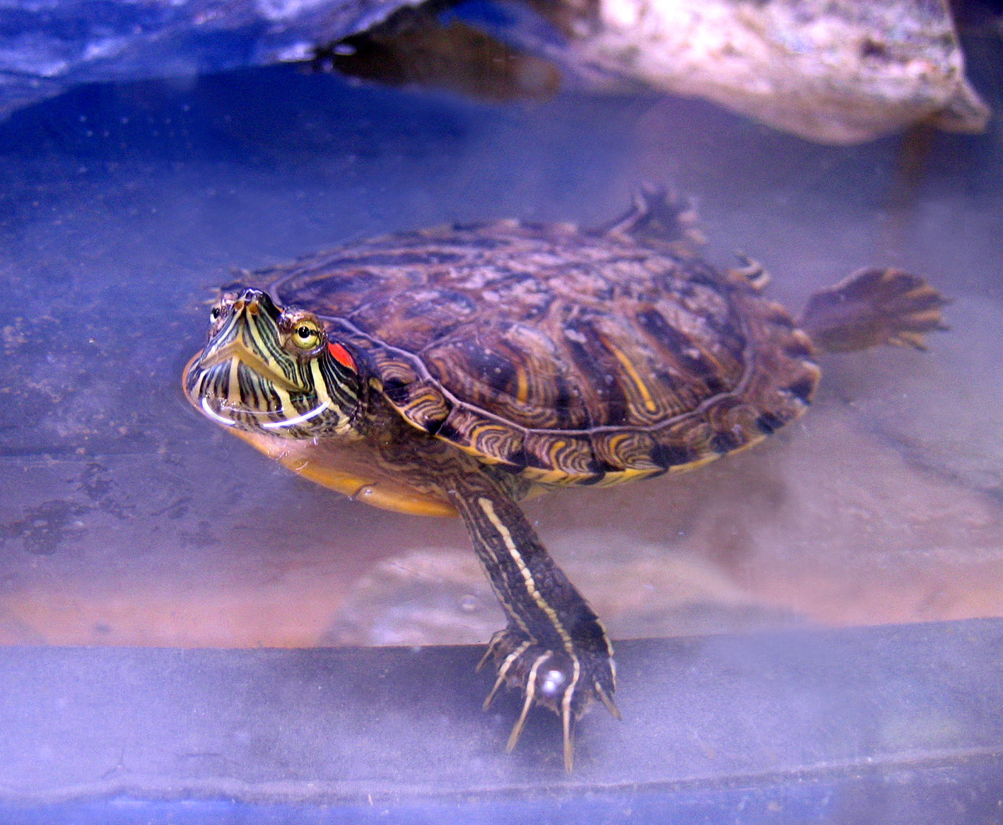 https://upload.wikimedia.org/wikipedia/commons/e/e8/Turle124.jpg