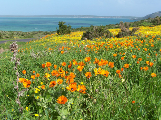 A field of flowers in the West Coast National ...